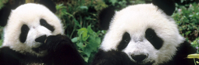 volunteer panda conservation in China